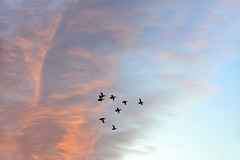 Into the Blue (NaturalLight) Tags: migration migrating ducks clouds pink sunset blue chisholmcreekpark wichita kansas