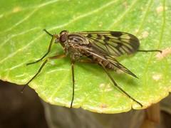 Rhagio atlanticus (female) (RuiAndrade) Tags: rhagio atlanticus rhagionidae diptera fly mosca insectos insects nature natureza
