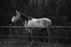 de perfil _DSC0344 (Rodo López. Fotero... instantes en un clic) Tags: naturaleza blancoynegro nikon naturebynikon españa nature caballos explore animales espacio elbierzo animalesdecompañia excapture naturalezacautivadora animalesenelbierzo