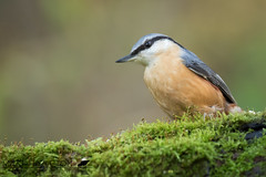 Nuthatch (Matt Hazleton) Tags: sittaeuropaea nuthatch bird woodland wildlife nature animal outdoor canon canoneos7dmk2 canon100400mm eos 7dmk2 100400mm matthazleton matthazphoto northamptonshire