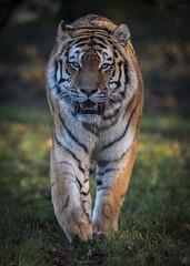 Fence Appreciation (Jonnyfez) Tags: vladimir vlad siberian amur tiger big cat jonnyfez yorkshire wildlife park d850 predator eye stare walking straight
