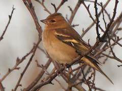 Chaffinch (davidhampton1066) Tags: bird lwt lavellswetlandtrust leafarmgravelpit reading berkshire animal nature nikonp900 nikon nikkor