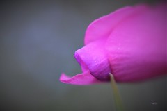 """Série """"Beauté Nature"""" (EmArt baudry) Tags: flower focus fleur macro nikon nikonmacrolens nature proxy closeup emart emmanuellebaudry beauté beauty composition colour couleur"""