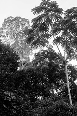São Gabriel da Cachoeira-AM (Johnny Photofucker) Tags: amazonas amazônia amazon brasil brasile brazil sãogabrieldacachoeira am preto branco black white nero bianco pb bw embaúba árvore rainforest florestaamazônica lightroom floresta foresta forest selva jungle giungla tree trees albero alberi monochrome 40mm vegetação noiretblanc natura nature natureza