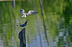 """TIME for LUNCH ! .... TWO """"TERN"""" BIRDS in a POND of MONTREAL ( Quebec ) CANADA (Guy Lafortune) Tags: water eau étang pond birds oiseaux bird oiseau ailes wings wing aile beak bec queue tail eathing eaten eat libellule dragonfly repas meal pôteau stake canada quebec montreal québec montréal time lunch manger tern sterne closeup macro 2012"""