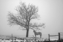 The Tree, The Horse & The Fog (TicKavich) Tags: horse tree fog fence gate rural post wire winter quiet stillness landscape