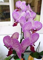 Phalaenopsis orchid - Gwen's garden (suey_j) Tags: garden nature flower flora phalaenopsis striped petals orchid