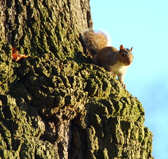 Squirrel enjoying the setting sun (jdathebowler Thanks for 4.5 Million + views.) Tags: sciuruscarolinensis greysquirrel rodent mammal wildlife