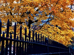 Autumn leaves - New York City (Andreas Komodromos) Tags: andreaskomodromos architecture autumn branches buildings city cityscape color colors fall fence iron landscape leaves manhattan newyork newyorkcity nyandreas nyc orange park portfolio red street sunset tree trees trunk twilight urban yellow