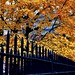 Autumn leaves - New York City