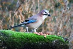 Jay (eric robb niven) Tags: scotland dundee morton tentsmuir tayport ericrobbniven jay springwatch
