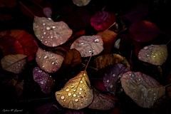 The Last Flame (BookSmellLover) Tags: autumn jesień liście leaves droplets rain melancholic atmospheric nature seasons closeup macro