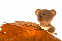 Look what a big leaf I have found! (Lisette-R Art & more ♥) Tags: orange oranje leaf blad groot big beer bear teddybear teddybeer htbt oren ears light licht backlight tegenlicht gezicht face ogen eyes nerven veins macro macrodreams plushie knuffelbeer stuffedanimal cute schattig witteachtergrond whitebackground