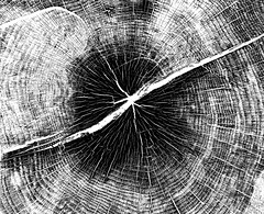 Trunk Lines (pjpink) Tags: blackandwhite bw monochrome uncolored colorless tree trunk lined patterned manchester rva richmond virginia august 2019 summer pjpink 2catswithcameras hss