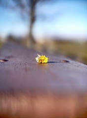 Autumn/almost winter, dandelion. (JayTeeMan) Tags: 50mmf12 nikonnikkor bokehphotography bokeh outdoors naturephotography dandelion
