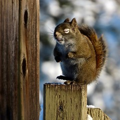 365-5-333 Miss Stumpy doing yoga (benlarhome) Tags: calgary canada missstumpy redsquirrel animal wildlife nature