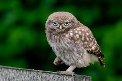 Little Owl (irelaia) Tags: little owl wild bird talons feet