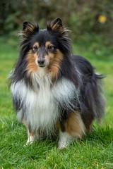 Lovely old dog (lee dawe photography) Tags: dog sheltie pet canine hound animal