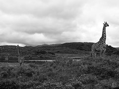 STANDING TALL (eliewolfphotography) Tags: bw bnw animals africa african nature naturelovers nikon naturephotography natgeo naturephotographer safari arusha wildlife wildlifephotographer wildlifephotography landscapes
