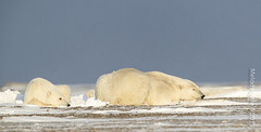 Polar Bear(s) (karenmelody) Tags: animal animals alaska mammal polarbear mammals familyursadae usa unitedstatesofamerica vertebrate ursusmaritimus vertebrates salcha