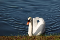 Swan @ Canale d'Ercole @ Garden @ Reggia di Venaria Reale @ Turin (*_*) Tags: october autumn automne fall 2019 piemonte piemont piedmont turin italie italia italy europe torino marche walk city morning venariareale reggiadivenariareale palaceofvenaria garden park canal animal bird swan cygne savoia royalpalace
