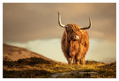 Highland Cow, Elgol, Isle of Skye (Michael Long Landscaper) Tags: highlands highland hillside highlandcow highlandcattle horns pose isleofskye scotland scottishhighlands scottish scenic canon canonuk elgol cow animalinthewild wildlife ukwildlife westerenhighlands