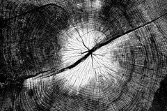Tree Story (pjpink) Tags: blackandwhite bw monochrome uncolored colorless tree trunk lined patterned manchester rva richmond virginia august 2019 summer pjpink 2catswithcameras
