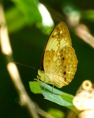 The Rustic butterfly - Cupha erymanthis (nikolayloginov) Tags: cuphaerymanthis butterfly thailand бабочка таиланд