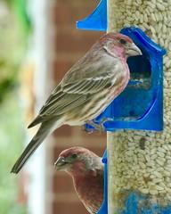 House Finches (WalrusTexas) Tags: haemorhousmexicanus housefinch box lookingcloseonfriday feeder