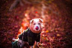 Autumn Dream (moaan) Tags: kobe hyogo japan dog jackrussellterrier kinoko autumn fall leaves fallenleaves rayoflight portrait dogportrait dogphotography bokeh bokehphotography dof leica leicamp noctilux 50mm f10 leicanoctilux50mmf10 utata 2019
