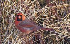 Northern Cardinal. (rumerbob) Tags: northerncardinal cardinal songbird avian ornithology bird birdwatching birdwatcher wildlife wildlifephotographer wildlifewatcher nature naturewatcher naturephotography canon7dmarkii canon100400mmlens