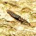 Net-winged Beetle Larva