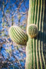 Picking Up the Signal Right Here (Thomas Hawk) Tags: america arizona desertbotanicalgarden papagopark saguaro usa unitedstates unitedstatesofamerica cacti cactus desert phoenix fav10