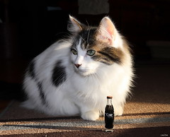 Enjoy (a tiny) Coke (Lisa Zins) Tags: petsandanimals pets animals cat feline glass lisazins noah whitewithtabbymarkings whiteandblack coke bottle happycaturday november30 2019 collectibles enjoycoke cocacola