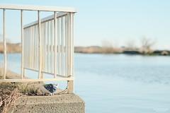 二番目に大きな湖 -じゅうといつつめお話し- (atacamaki) Tags: supertakumar 55mm f18 fujifilm oldlens オールドレンズ スーパータクマー jpeg撮って出し atacamaki walter ウォルター pig こぶた story 霞ヶ浦 lake water sunny day life こぶたのウォルター
