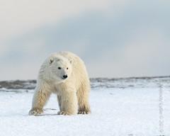 Polar Bear (karenmelody) Tags: animal animals alaska usa mammal unitedstatesofamerica polarbear mammals vertebrate ursusmaritimus vertebrates salcha familyursadae