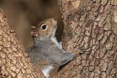 My little tree hugger (explored 11/30/2019) (Lynn Tweedie) Tags: wood beak missouri squirrel ef400mm56lusm eye tree animal canon eos ngc branch