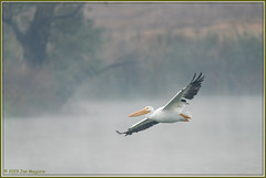 Peli in the Fog 0044 (maguire33@verizon.net) Tags: americanwhitepelican bif pelecanuserythrorhynchos pradoregionalpark whitepelican bird pelican wetlands wildlife chino california unitedstatesofamerica