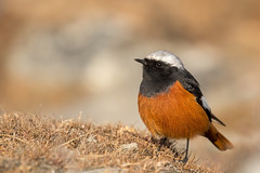 White-winged Redstart (eBird.org) Tags: ebird front page birdwatching birding birds nepal conservation citizen science cornell lab ornithology macaulay library