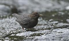 20191123Z7_7525FLR (cisco42) Tags: americandipper bc bird britishcolumbia canada cinclusmexicanus englishmanriverfallsprovincialpark river waterflowingwater