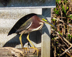 Green Heron (Butorides virescens) (Betsy McCully) Tags: greenheron butoridesvirescens herons
