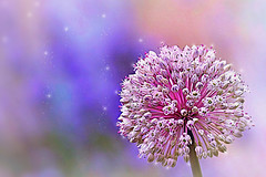 Sparkles of light (Small and Beautiful) Tags: macro allium flower ball round pastel beauty