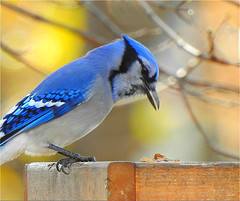 Bluejay Autumn (scilit) Tags: bird bluejay seeds sun sunny fence branches twigs feed feeding marsh rattraymarsh nature outdoors animal avian macro closeup feathers beak claws pattern plumage blue white blackmarkings ngc npc alittlebeauty coth coth5