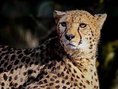 Gepard (Rolf Piepenbring) Tags: cheetah gepard zookrefeld zoo jachtluipaard guépard guepardo acinonyxjubatus
