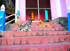 ,, Mama & Crew, The Spirit House ,, (Jon in Thailand) Tags: mama rocky mickey rescueddogs dogrescue rescuedpuppy puppyrescue jungle themonkeytemple thespirithouse purple pink blue burgundy gold green nikon nikkor d300 175528 handheld 120thsecond littledoglaughedstories