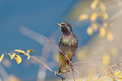 Starling (microwyred) Tags: animal animalwing animalsinthewild beak beautyinnature bird birdwatching birds blue branch closeup forestwoods forest multicolored nature outdoors small starling summer tree wildlife feather
