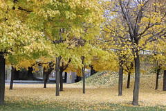 Yellow Leaves (pegase1972) Tags: autumn automne québec quebec qc canada montréal montreal fall foliage explore explored