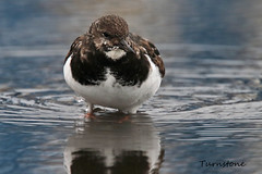 TURNSTONE // ARENARIA INTERPRES (23cm) (tom webzell) Tags: naturethroughthelens