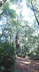 Nov2019-BigBasinCamping-P1040614 (aaron_anderer) Tags: bigbasin california state park camping fall fun chilly redwoods