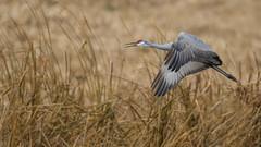 Sandhill Crane 1245 (Paul McGoveran) Tags: bif bird birdinflight longpoint nature nikon500mmf4 nikond850 norfolkcounty sandhillcrane wings coth5